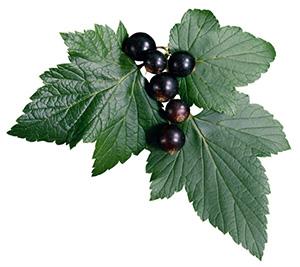 chernaya-smorodina-lechebnye-svojstva-i-protivopokazaniya