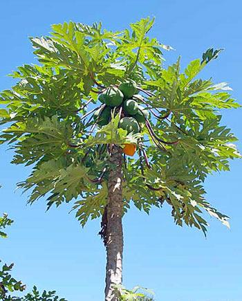 papajya-poleznye-svojstva